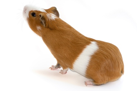 squeak: red guinea pig sniffing on white background  Stock Photo