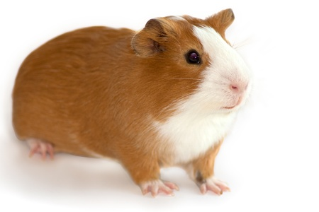 guinea pig focus on the face