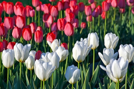 white and red tulips on the city flower bed  Stock Photo