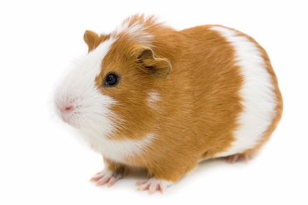 red and white guinea pig isolated on white  photo