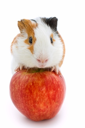 guinea pig and red apple  photo