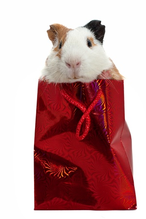 pet store: guinea pig in a gift bag
