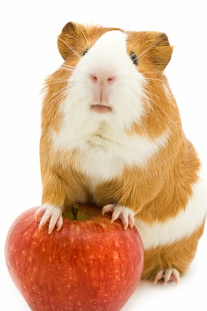 red and white guinea pig and red apple  photo