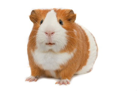 guinea pig on white background isolated