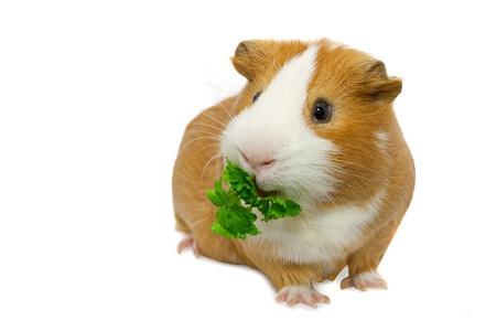 guinea pig eating green grass  Stock Photo