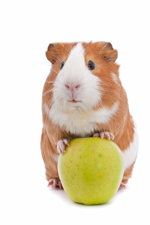young pig: guinea pig with green apple