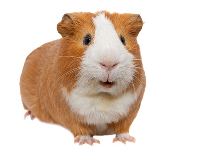cute hamster: red guinea pig