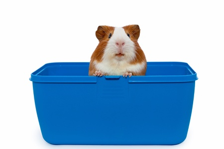guinea pig in a plastic animal carry cage  photo