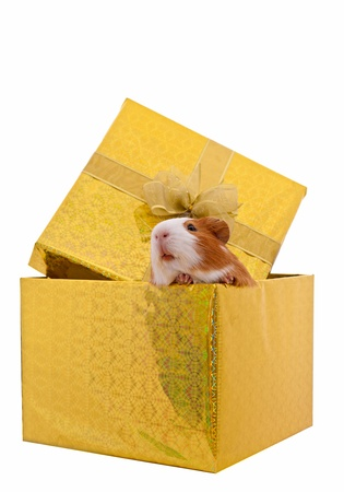 guinea pig in the present box isolated on  white background
