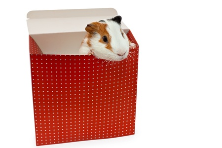 guinea pig in the present box isolated on white photo