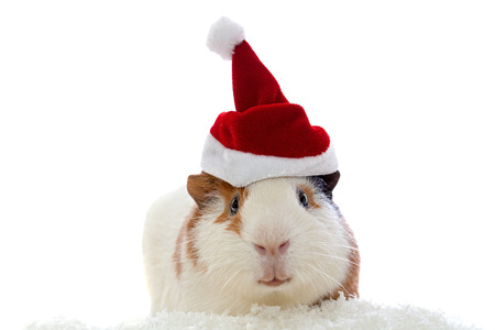 guinea pig in christmas hat isolated on white