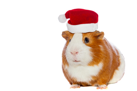 Guinea pig wearing Santa s hat isolated over white Stock Photo