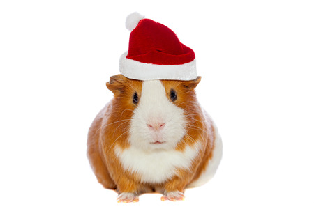 Guinea pig wearing Santa s hat isolated over white photo