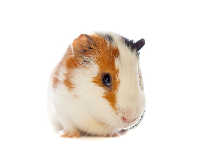 guinea pig closeup isolated over white background Stock Photo