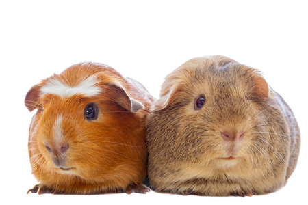 Two guinea pigs isolated on white Stock Photo
