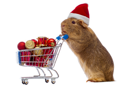 Christmas Guinea Pig Images & Stock Pictures. Royalty Free ...