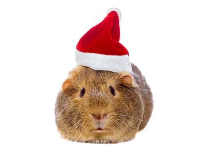 Guinea pig in Santas hat