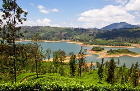 tea plantation in Sri Lanka photo