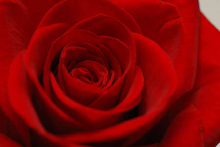 St. Valentine's background of a rose close-up Imagens