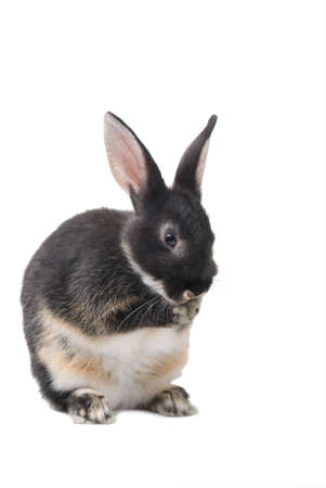 Grey rabbit washing his face on a white background Stock Photo