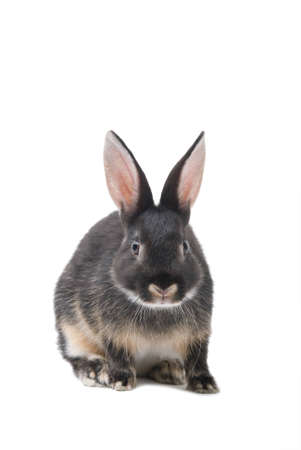 Grey bunny isolated on a white background Stock Photo