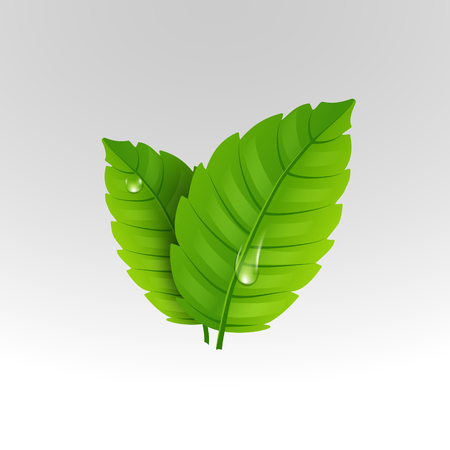 mint leaf: Fresh mint leaf. Vector menthol healthy aroma. Herbal nature plant. Spearmint green leafs.