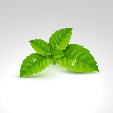 Fresh mint leaf, menthol healthy aroma. Herbal nature plant. Spearmint green leafs.