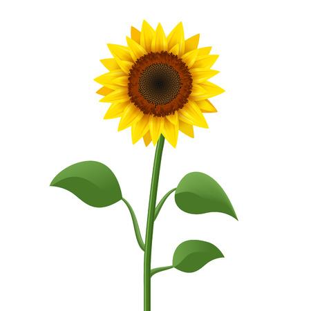 Vector icono realista de girasol aislado. Ilustración de flor de naturaleza de flor de girasol amarillo para el verano.