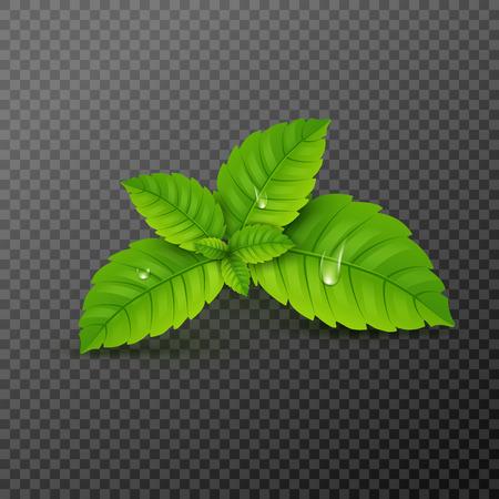 Frisches Minzblatt. Vektor-Menthol gesundes Aroma. Pflanzliche Naturpflanze. Grüne Blätter der Minze.