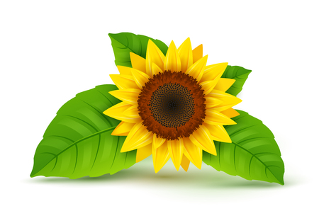 Sunflower realistic icon vector isolated. Yellow sunflower blossom nature flower illustration for summer. Vector Illustration