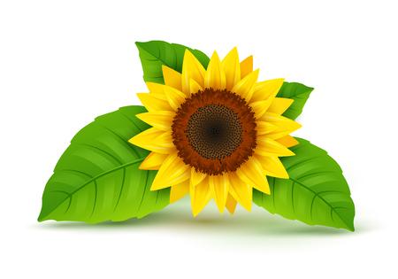Vector icono realista de girasol aislado. Ilustración de flor de naturaleza de flor de girasol amarillo para el verano. Ilustración de vector