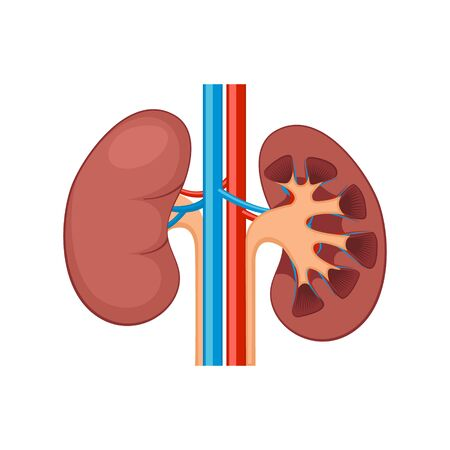 Kidney renal flat realistic icon. Human kidney anatomy vector organ icon Illustration