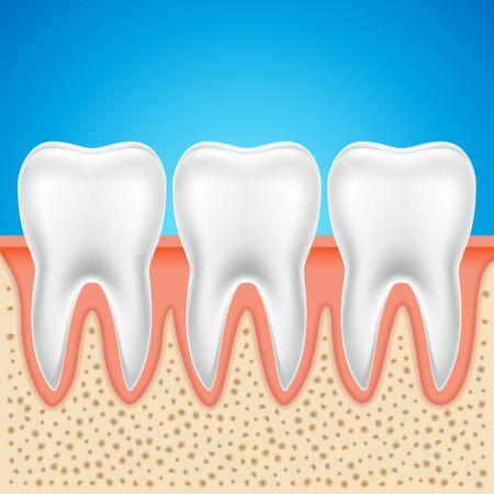 Tooth vector dental anatomy. Human tooth bone healthy illustration isolated.
