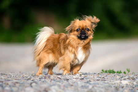 Red dog Pekingese