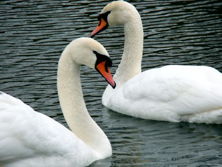 Swans on a pond photo