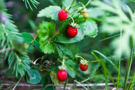 'wild strawberry: wild strawberry, sweet, juicy, berry, delicious, summer
