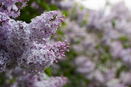 lilacs: blooming lilacs in spring