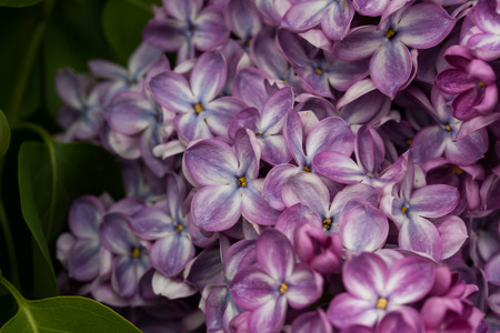 blooming lilacs in spring
