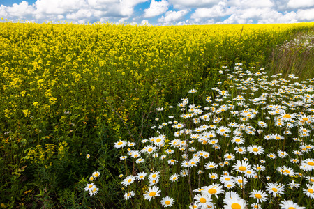 big daisy: daisies blooming mustard field blue sky white yellow expanse of Russia