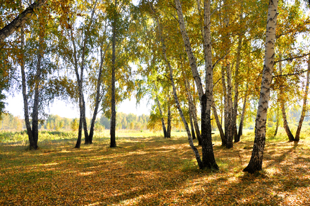 Landscape early autumn. Glade with yellow grass and leaves on the background of autumn birch trees illuminated by the sun and blue sky. West Siberia.