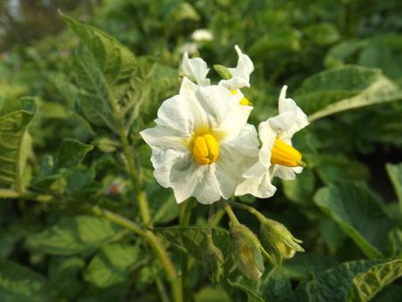 haulm: popatoes flower