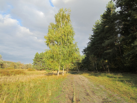 landscape with forest road and birch standing alone photo