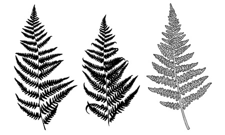 Collection of vector black silhouettes of fern. Isolated on white background. Design objects for decoration, textile, poster, card, invitation, announcements, advertisement. 向量圖像