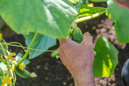 Hand holds a ripe cucumber in a greenhouse ready to pick it. High quality photo