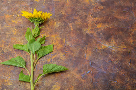On a brown background sunflower flower, there is a place for text, autumn background,. High quality photo