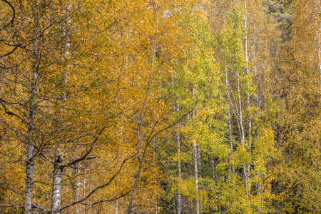 Yellow leaves on trees, autumn, forest background. High quality photo