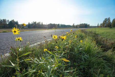 Dandelions and yellow flowers grow by the road. High quality photo