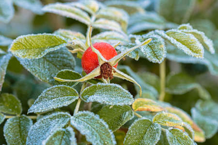 The leaves of the green rosehip are covered with frost. Freezing. Autumn morning. High quality photo