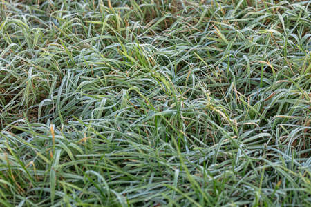 Green grass covered with frost. Natural background. High quality photo 免版税图像