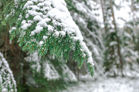 A branch of green spruce covered with snow and frozen drops. Icicles. Concept, hello winter, christmas, new year. High quality photo